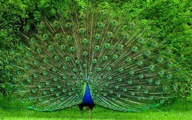 ভারতের জাতীয় পাখি
